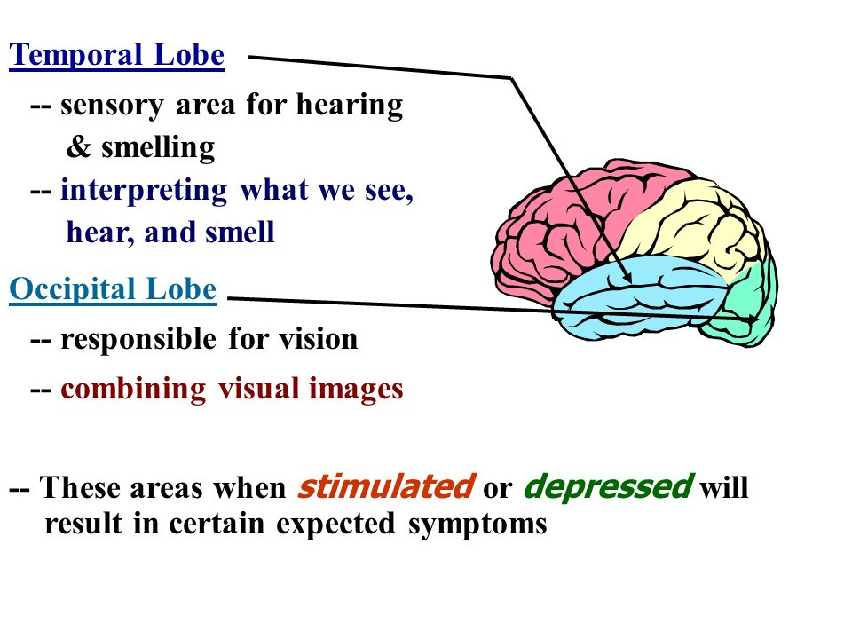 Temporal Lobe -- sensory area for hearing. & smelling. -- interpreting what we see, hear, and smell.