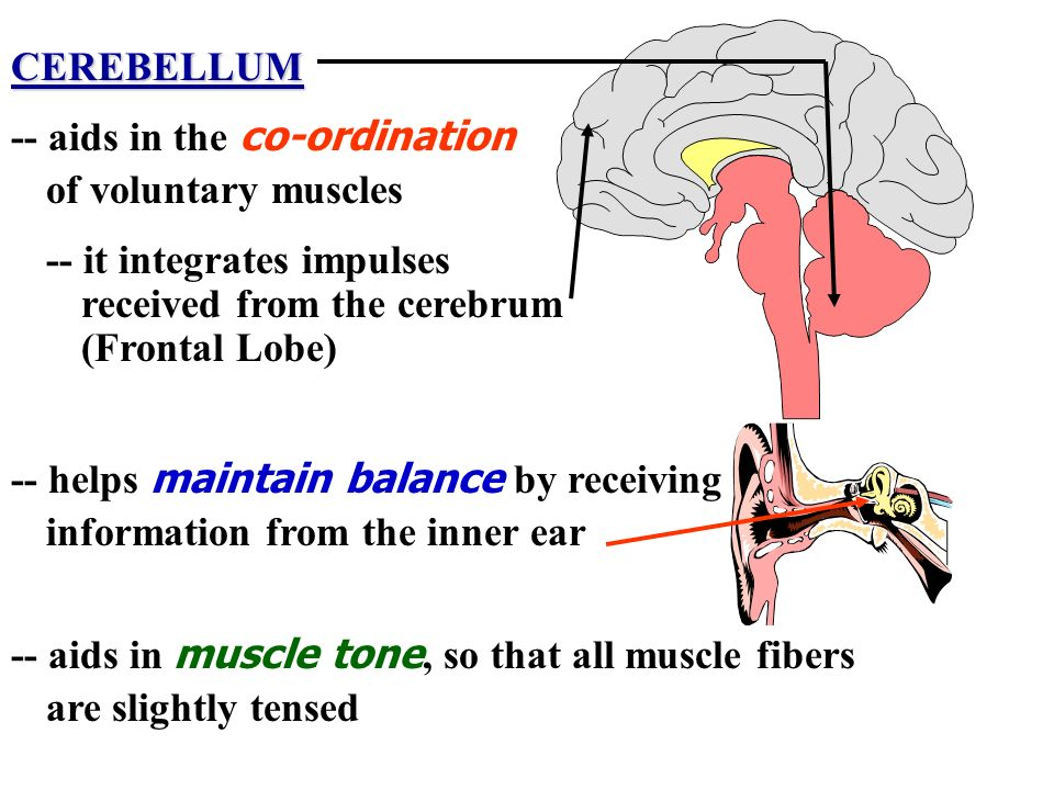 CEREBELLUM -- aids in the co-ordination. of voluntary muscles. -- it integrates impulses. received from the cerebrum.