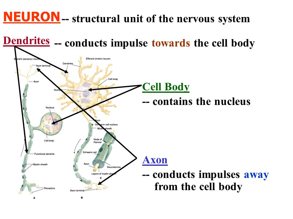 NEURON -- structural unit of the nervous system Dendrites
