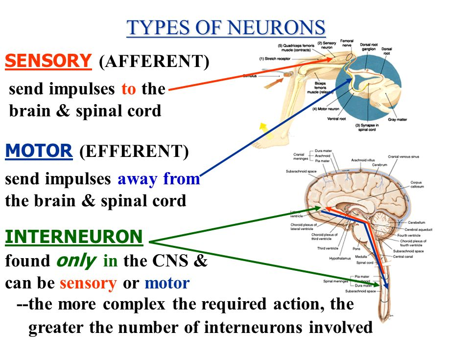 TYPES OF NEURONS SENSORY (AFFERENT)