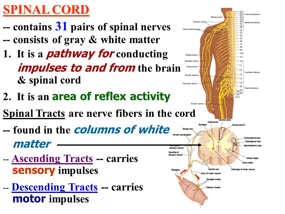 SPINAL CORD -- contains 31 pairs of spinal nerves