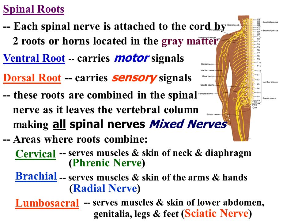 -- Each spinal nerve is attached to the cord by