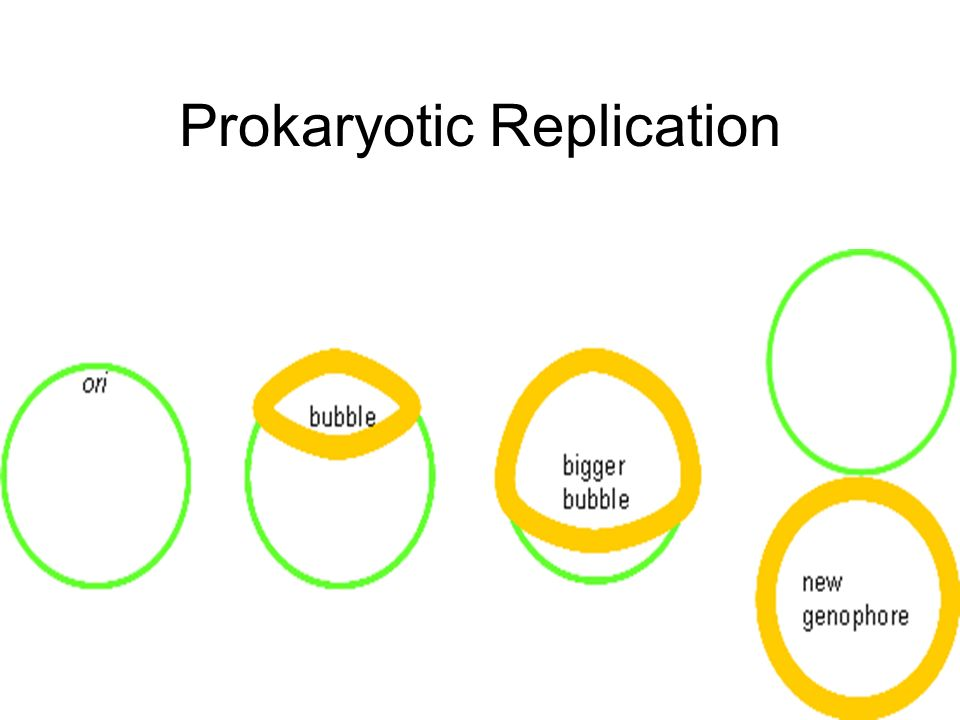 Prokaryotic Replication