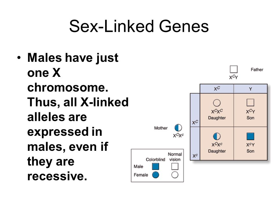 Sex-Linked Genes Males have just one X chromosome.