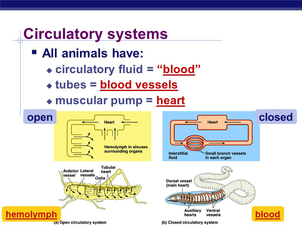 Circulatory systems All animals have: circulatory fluid = blood