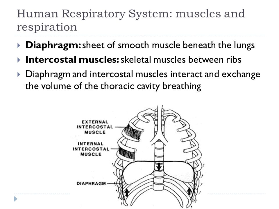 Human Respiratory System: muscles and respiration