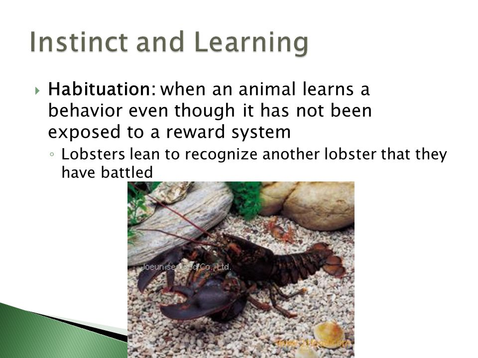Instinct and Learning Habituation: when an animal learns a behavior even though it has not been exposed to a reward system.
