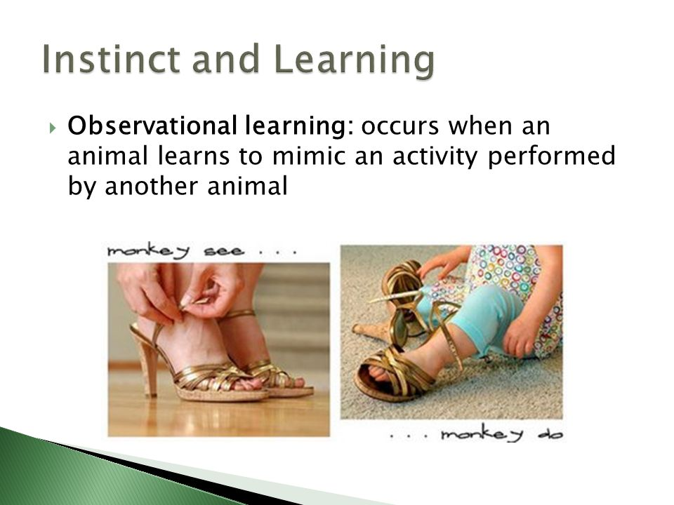 Instinct and Learning Observational learning: occurs when an animal learns to mimic an activity performed by another animal.