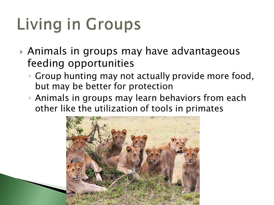 Living in Groups Animals in groups may have advantageous feeding opportunities.