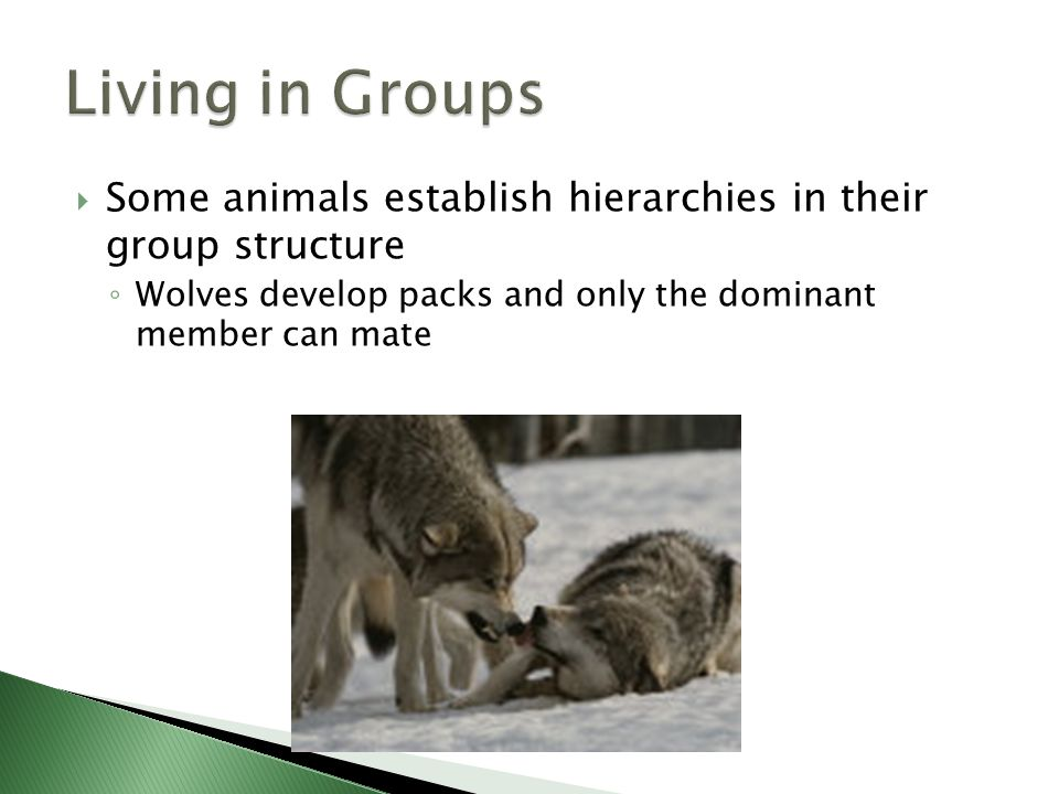 Living in Groups Some animals establish hierarchies in their group structure.