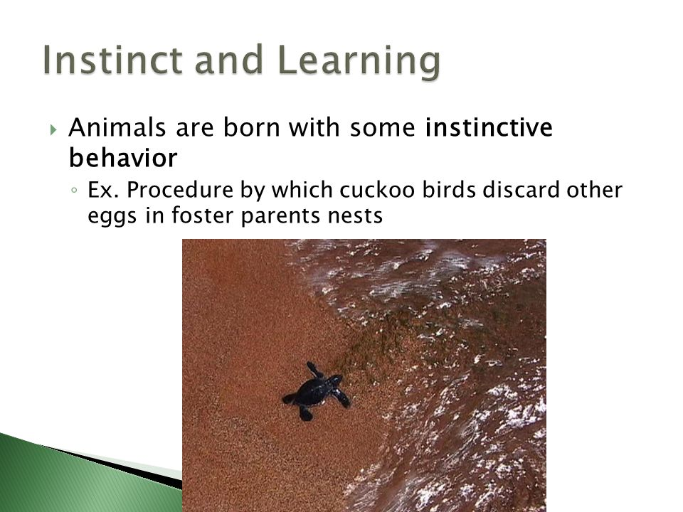 Instinct and Learning Animals are born with some instinctive behavior