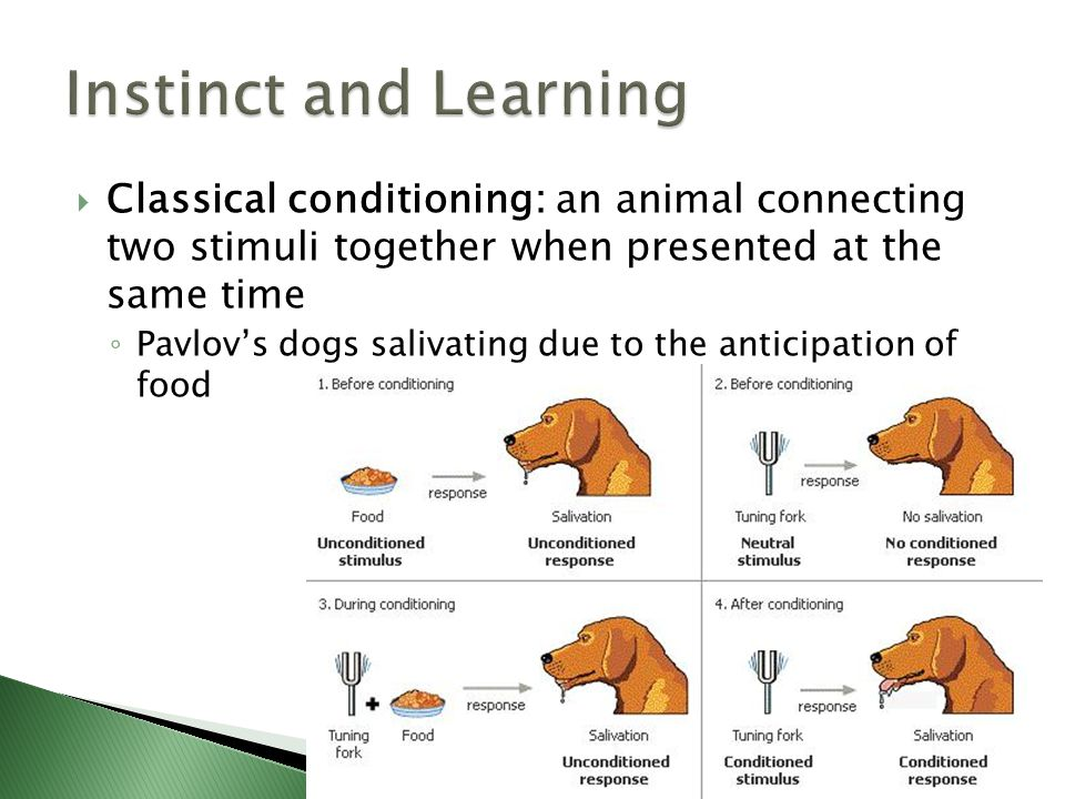 Instinct and Learning Classical conditioning: an animal connecting two stimuli together when presented at the same time.