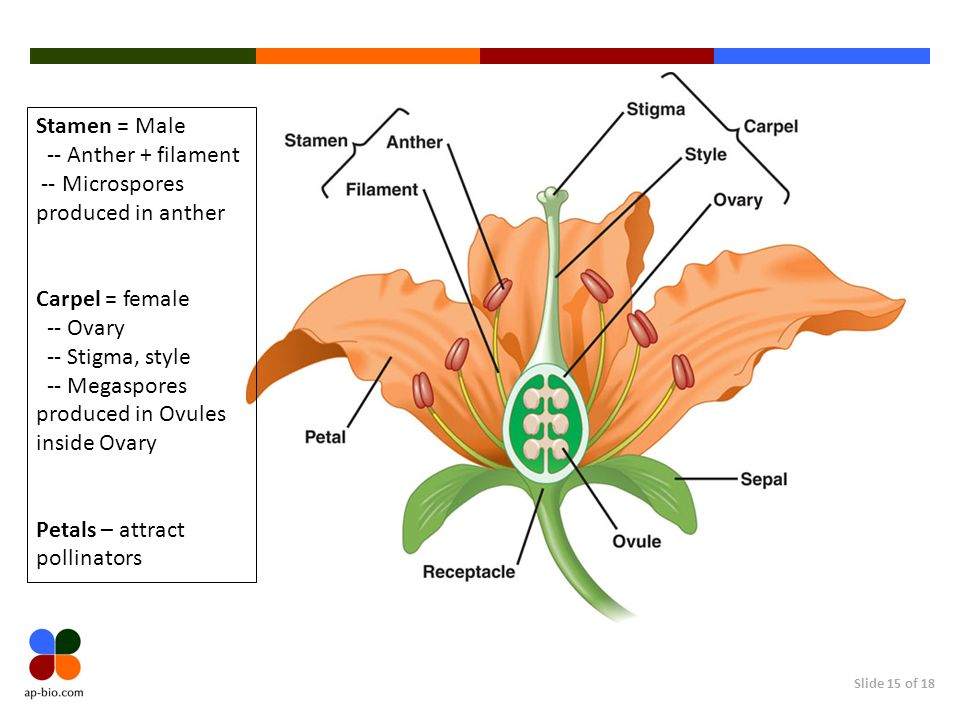 Stamen = Male -- Anther + filament. -- Microspores produced in anther. Carpel = female. -- Ovary.