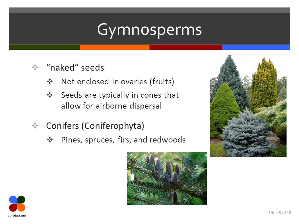 Gymnosperms naked seeds Conifers (Coniferophyta)