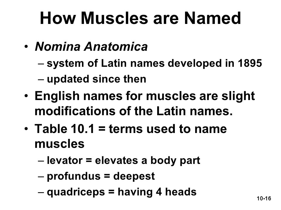 How Muscles are Named Nomina Anatomica
