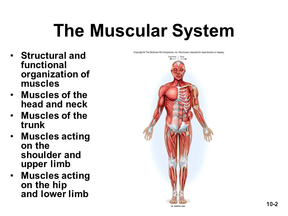The Muscular System Structural and functional organization of muscles