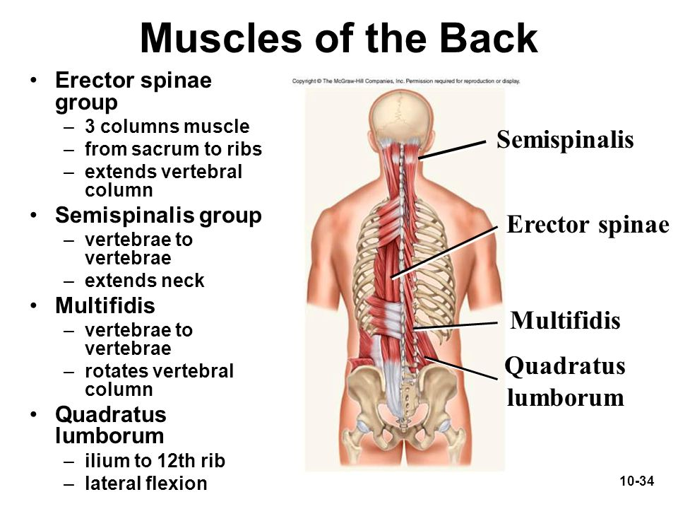 Muscles of the Back Semispinalis Erector spinae Multifidis