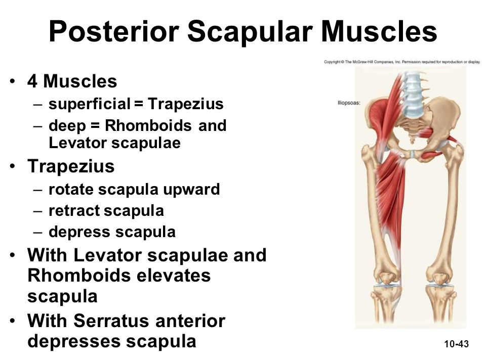 Posterior Scapular Muscles
