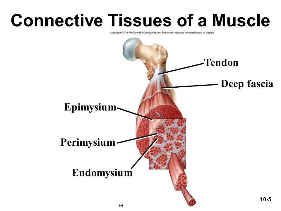 Connective Tissues of a Muscle