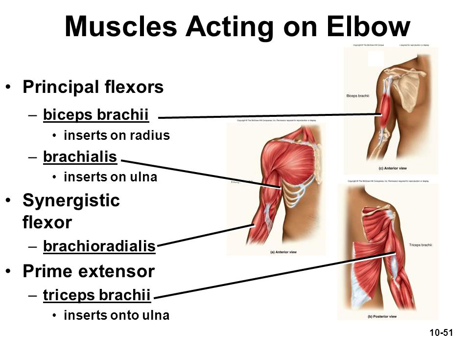 Muscles Acting on Elbow