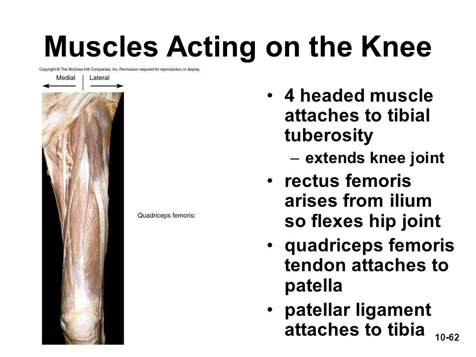 Muscles Acting on the Knee
