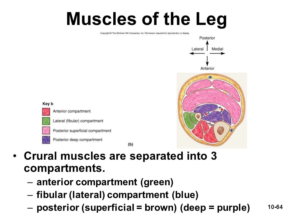 Muscles of the Leg Crural muscles are separated into 3 compartments.