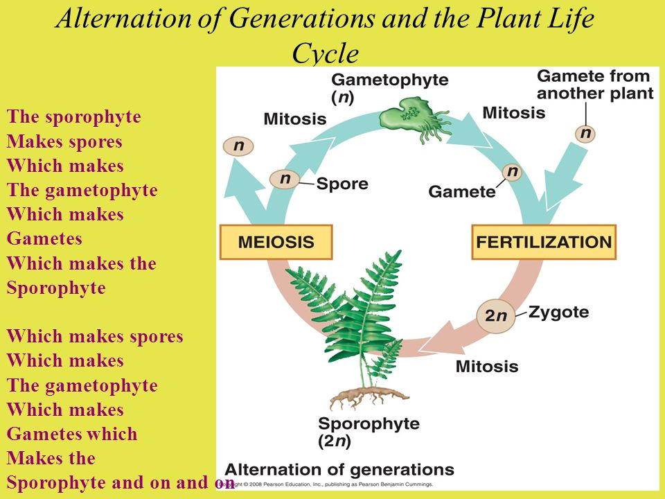 Alternation of Generations and the Plant Life Cycle