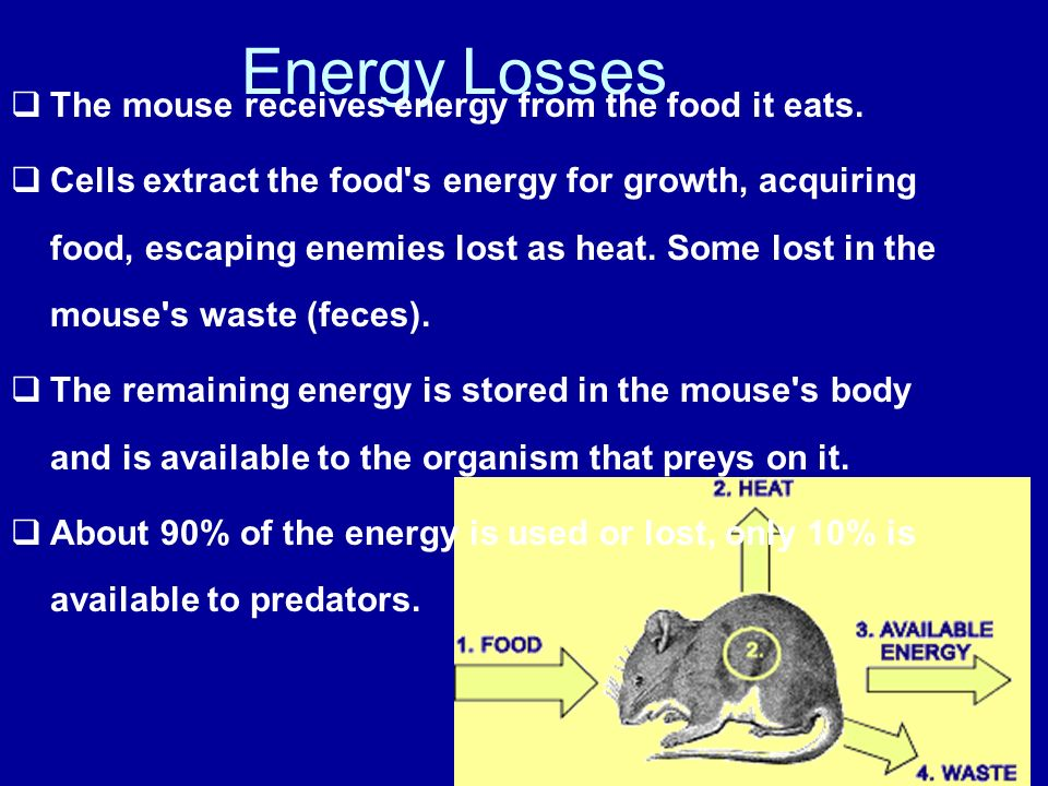 Energy Losses The mouse receives energy from the food it eats.