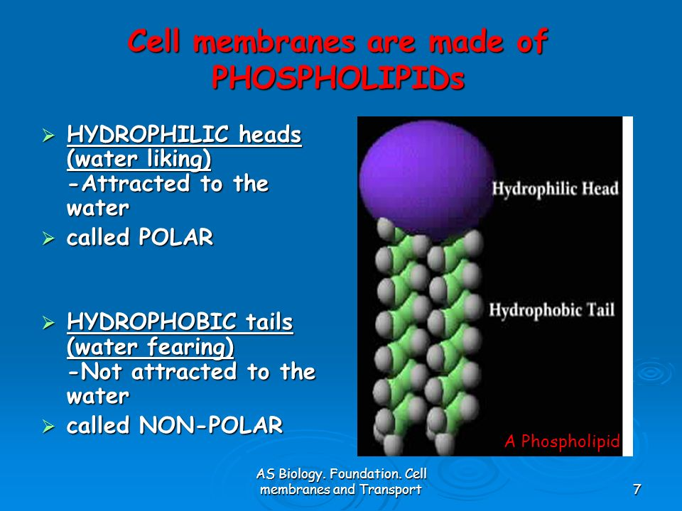 Cell membranes are made of PHOSPHOLIPIDs