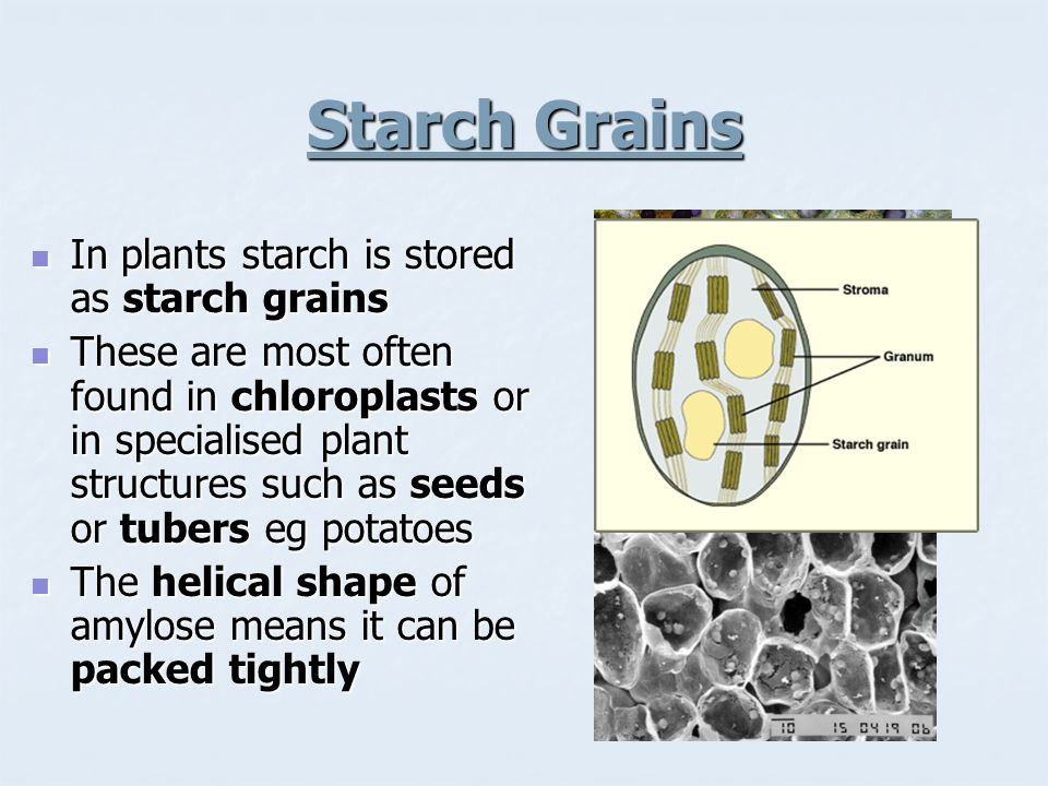 Starch Grains In plants starch is stored as starch grains