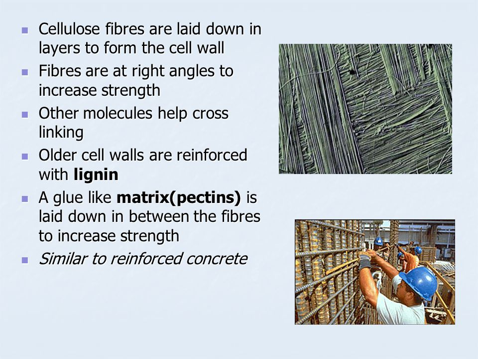 Cellulose fibres are laid down in layers to form the cell wall
