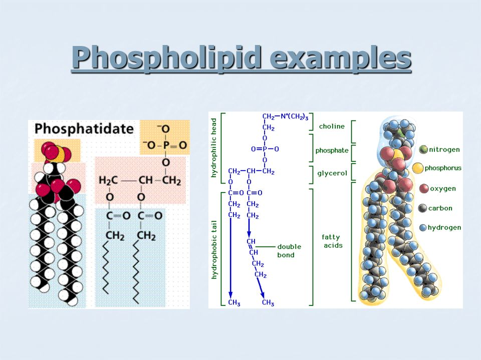 Phospholipid examples