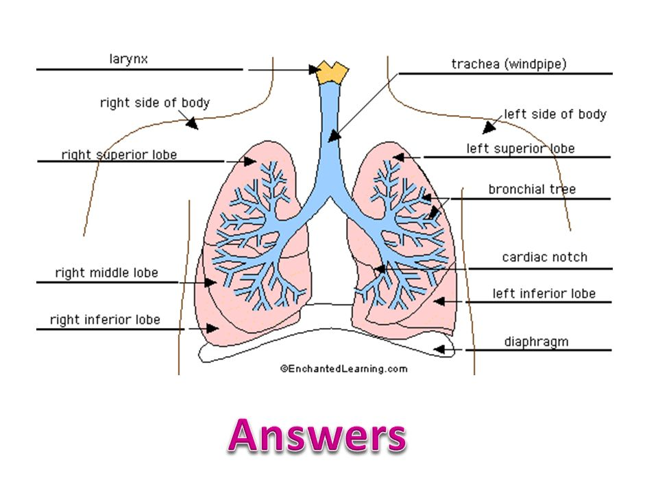 Mammalian Lungs List The Features Of The Mammalian Lung That Adapt