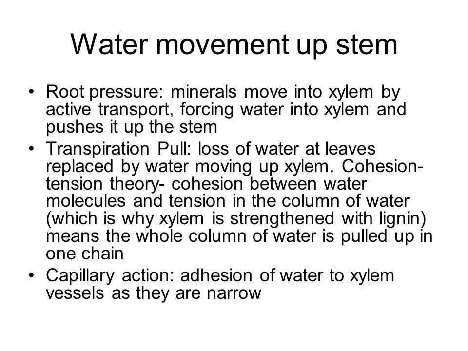 Water movement up stem Root pressure: minerals move into xylem by active transport, forcing water into xylem and pushes it up the stem.