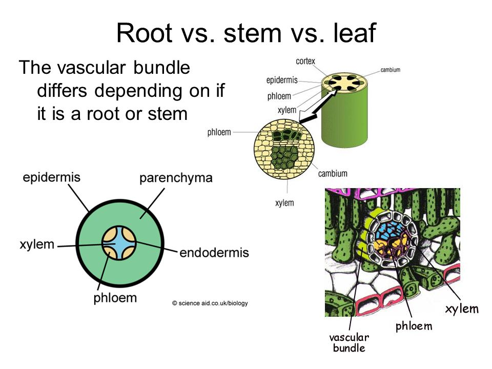Root vs. stem vs. leaf The vascular bundle differs depending on if it is a root or stem