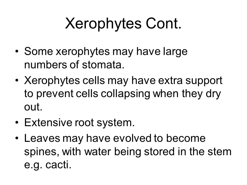Xerophytes Cont. Some xerophytes may have large numbers of stomata.