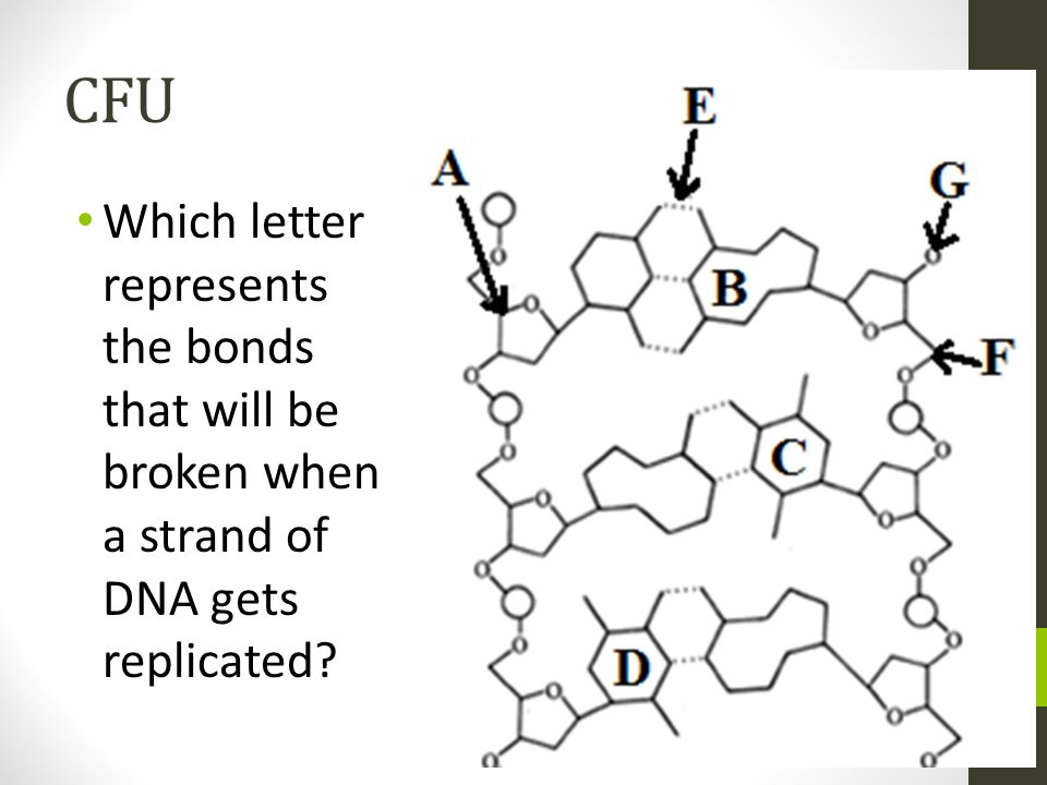 CFU Which letter represents the bonds that will be broken when a strand of DNA gets replicated