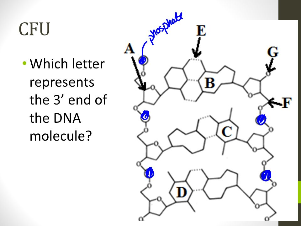 CFU Which letter represents the 3' end of the DNA molecule