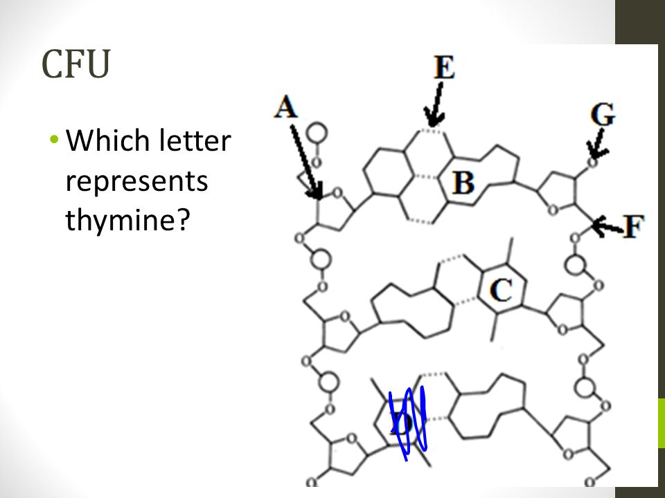 CFU Which letter represents thymine