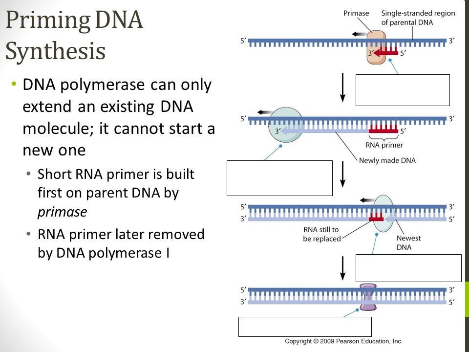Priming DNA Synthesis DNA polymerase can only extend an existing DNA molecule; it cannot start a new one.