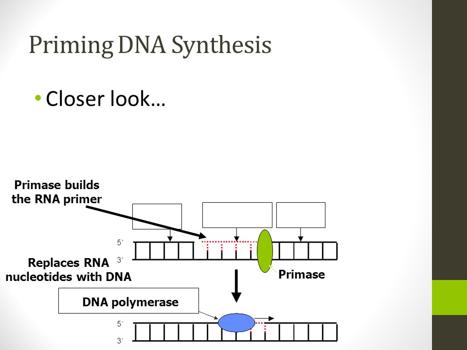 Primase builds the RNA primer Replaces RNA nucleotides with DNA
