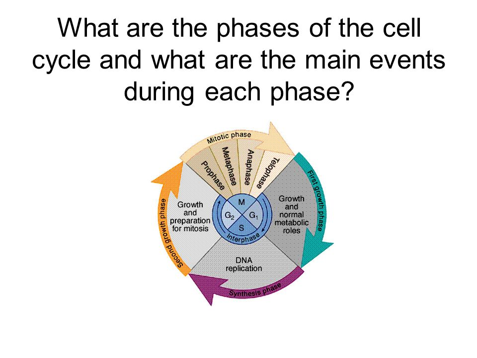 What are the phases of the cell cycle and what are the main events during each phase