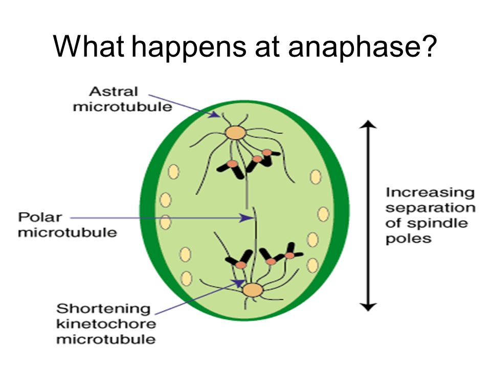 What happens at anaphase