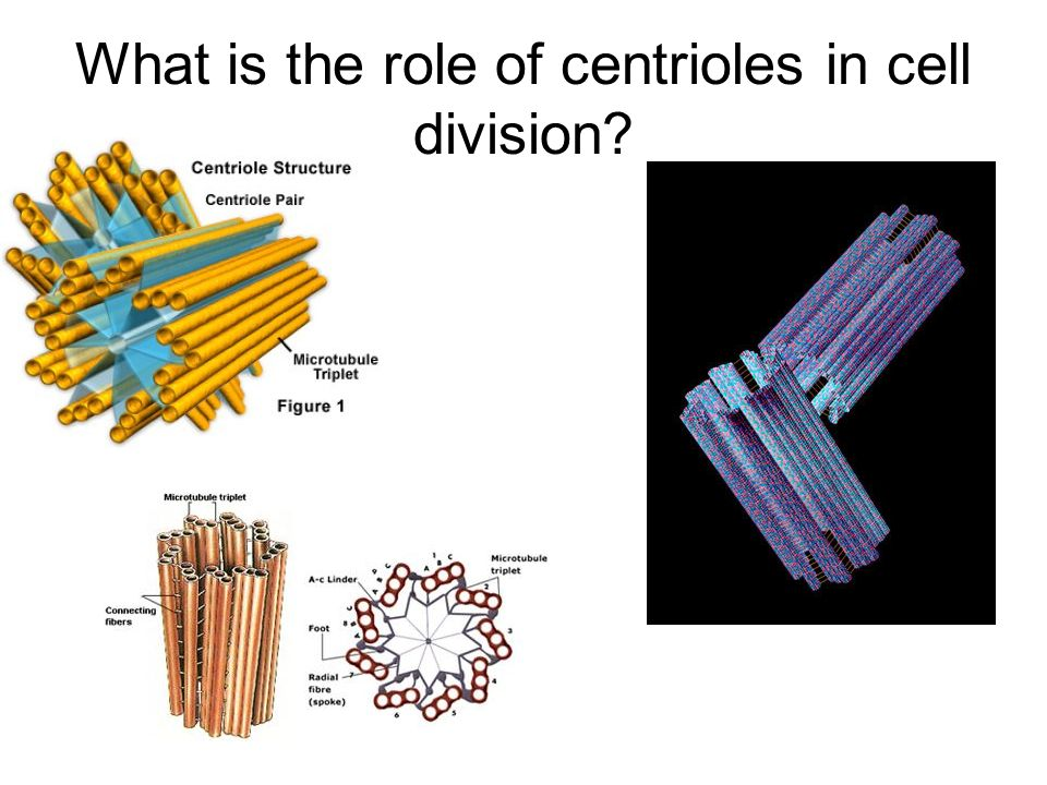 What is the role of centrioles in cell division
