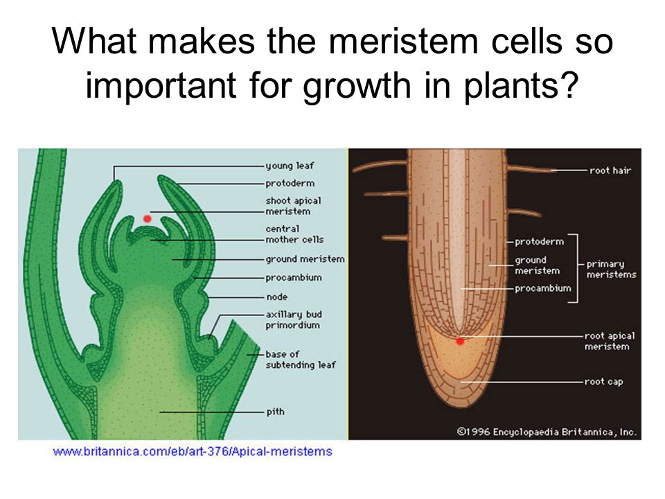 What makes the meristem cells so important for growth in plants