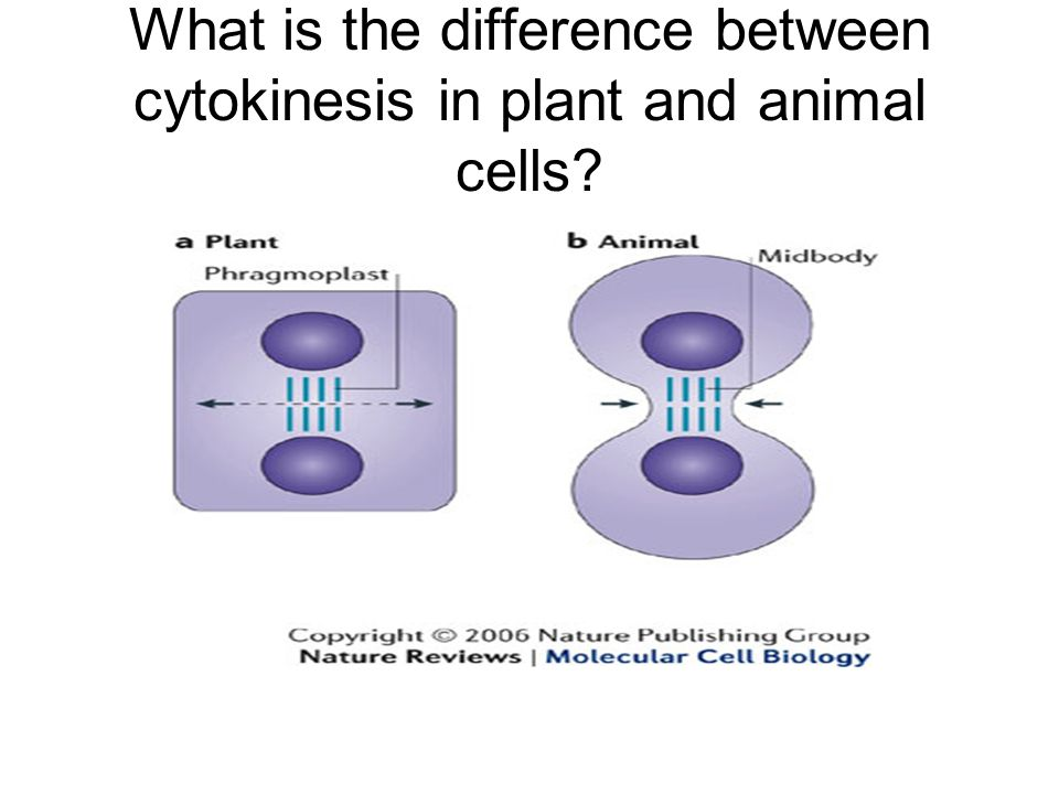 What is the difference between cytokinesis in plant and animal cells