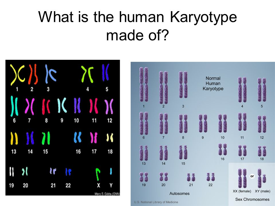 What is the human Karyotype made of