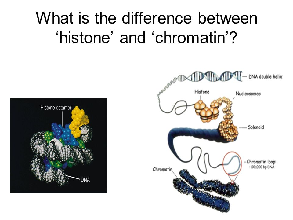 What is the difference between 'histone' and 'chromatin'
