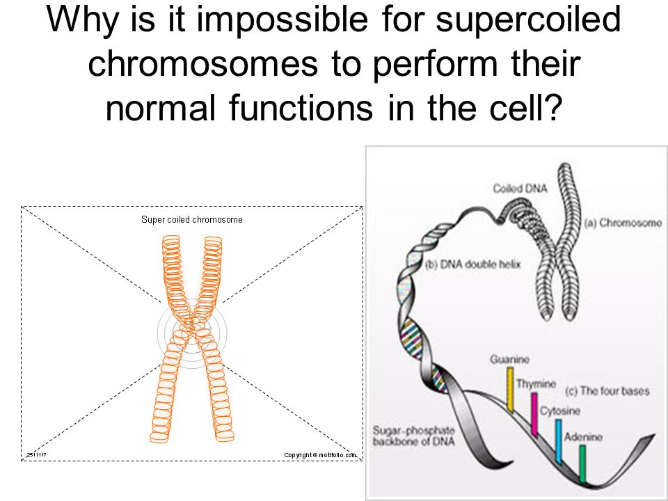 Why is it impossible for supercoiled chromosomes to perform their normal functions in the cell