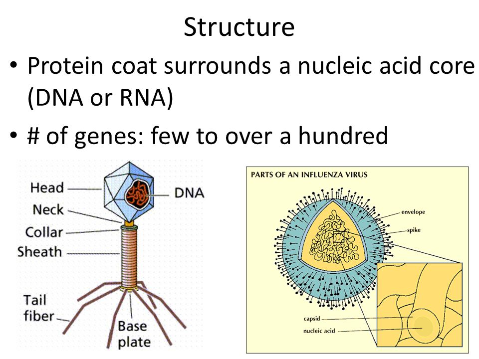 Structure Protein coat surrounds a nucleic acid core (DNA or RNA)